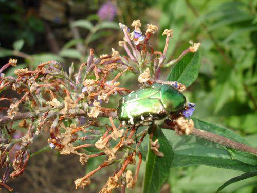 Rosenkäfer Ein Nützling. Die Raupen sind nur im Kompost zu finden, zersetzen Material. Ähnlichkeit mit Mai- und Junikäfer. Unterschied: Auf den Rücken gedreht, robbt der Käfer.