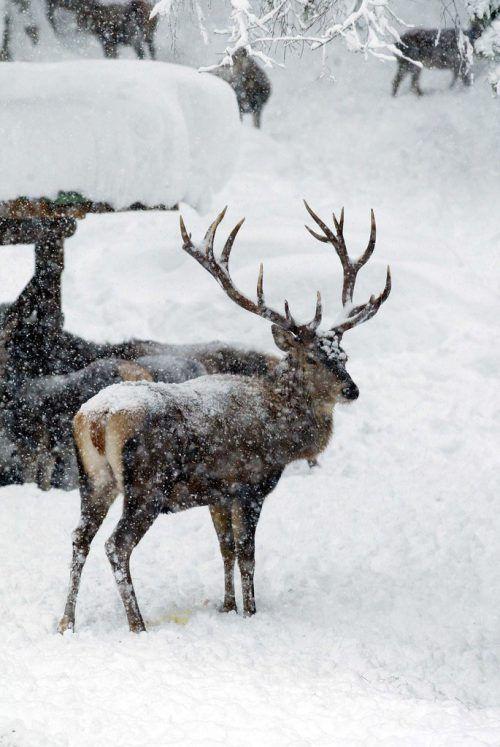 Rotwild wurde offensichtlich im Schnee gehetzt. vn