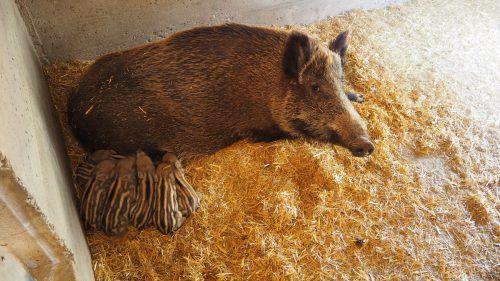 Sieben auf einen Streich! Mittlerweile hat ein zweites Wildschwein Frischlinge bekommen. Dieses Mal waren gleich sieben Jungtiere im Wurf. Egle