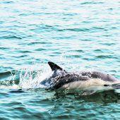 Hitze setzt Delfinen zu