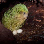Erstmals wieder 200 Exemplare des Pummel-Papageis Kakapo