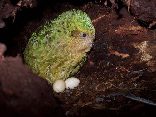 50 Weibchen hatten heuer 249 Eier gelegt, aus denen 77 Küken schlüpften. AFP