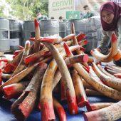 Malaysia zerstört Elfenbein im Einsatz gegen illegalen Handel