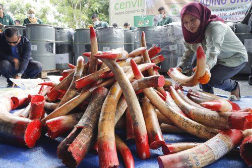 Vier Tonnen beschlagnahmtes Elfenbein werden zerstört. AP