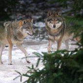 Wolfsriss beunruhigt