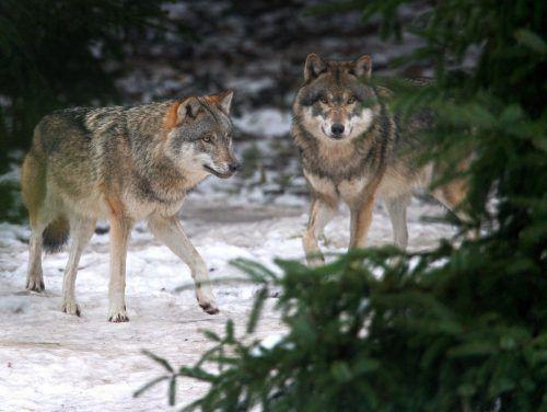 In Graubünden wurden vier Wölfe zum Abschuss freigegeben. dpa