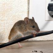 Hilfe! Mäuse im Haus