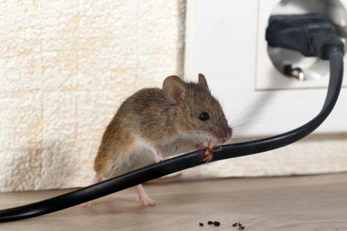 Zernagte Utensilien und Mäusekötel sind eindeutige Beweise für die Anwesenheit einer Hausmaus.foto: Shutterstock