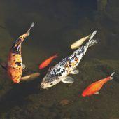 Levner Weiher ist kein Lebensraum für Goldfische