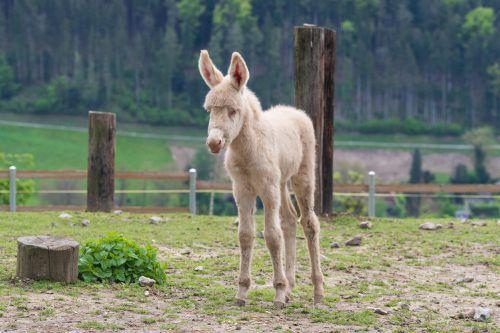 Barockeselstute Carola ist am Freitag zur Welt gekommen. VN