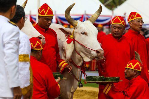 Bei der Zeremonie schreiten zwei weiße Ochsen über einen Acker und pflügen. AFP