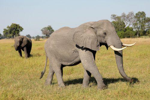 Botsuana hat mit rund 135.000 Tieren die größte Elefantenpopulation in Afrika. RTS