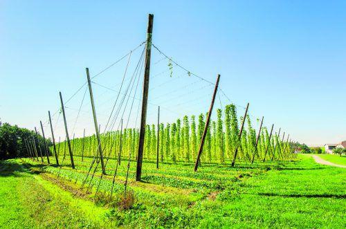 Das Klima im Mühlviertel eignet sich mit den kühlen Nächtenbesonders gut für den Anbau von Hopfen. Shutterstock