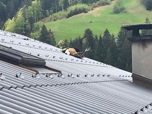 Der angeschossene Gänsegeier verendete auf einem Hausdach. pi Gaschurn