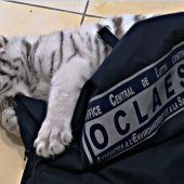 Weißes Tigerbaby bei Razzia beschlagnahmt