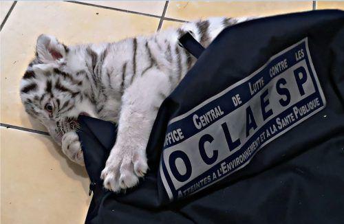 Der kleine Tiger wurde jetzt in einem Zoo im Südosten Frankreichs untergebracht. AFP