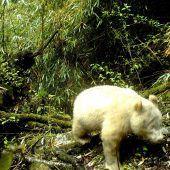Seltener Albino-Panda