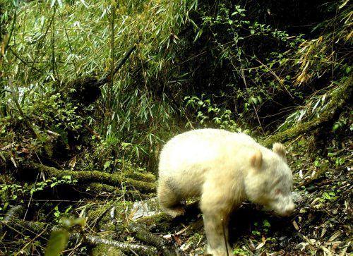 Der Panda lebt im Wolong-Nationalpark in Sichuan.