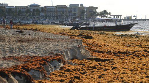 Die Karibik-Ressorts um Cancún locken jedes Jahr unzählige Urlauber. Doch an den Traumstränden haben sich die stinkenden Algen ausgebreitet.AP