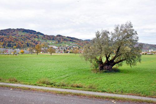 In diesem Gebiet am östlichen Ortsrand entsteht die neue Sportanlage in Gaißau. Die mächtige Weide, ein Naturdenkmal, bleibt erhalten. ajk
