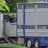 Kälbertransporte heute Causa vor Gericht