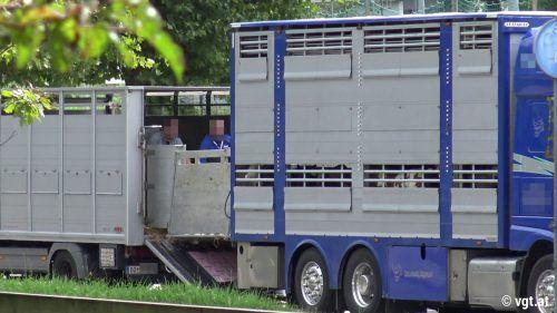 Mehrfach beobachtete der VGT das angeblich illegale Zuladen der Tiere auf einem Parkplatz in Dornbirn. VGT
