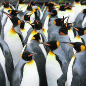Riesige Kaiserpinguin-Kolonie stark bedroht