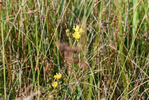 Streuwiesen bieten einen wertvollen Lebensraum für Insekten. Stiplovsek