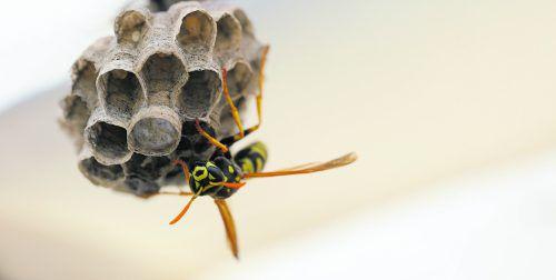 Wespen sind für viele lästig, biologisch gesehen jedoch Nützlinge.foto: Shutterstock