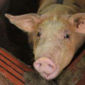 Asiaten schlachten Millionen Schweine wegen Schweinepest