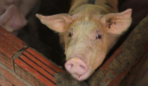 Bislang gibt es keine Behandlungsmöglichkeit für die Afrikanische Schweinepest. AP