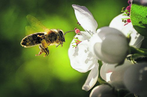 Der Bestand der Bienen ist seit Jahren sehr gefährdet.iStock