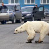 Eisbär auf Futtersuche in sibirischer Stadt