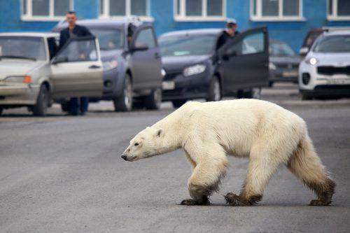 Der Eisbär scheute weder Menschen noch Verkehr. AFP