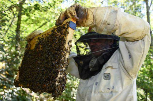 Ein Imker kontrolliert seine Bestände. Nach dem Wirtswechsel auf die Westliche Honigbiene wurde die Varroa Milbe weltweit zur gefährlichsten biotischen Gefahr der Honigbienen. AFP
