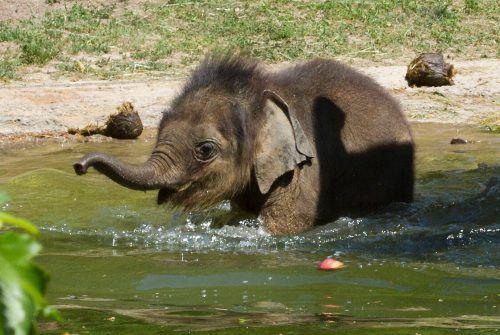 Elefantenbaby Ben Long genießt sichtlich die Erfrischung im kühlen Nass.