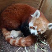 Süßer Mini-Panda