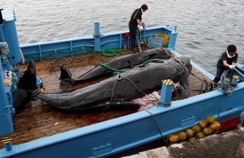 """Japan hat bisher jedes Jahr Hunderte Wale getötet - nach offizieller Darstellung zu """"wissenschaftlichen Zwecken"""", was trotz des seit 1986 geltenden Moratoriums erlaubt ist. Reuters"""