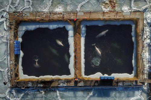 Neun Orcas und 81 Belugas sind noch immer in den winzigen Becken gefangen. Ob tatsächlich alle Tiere freikommen, war zunächst noch offen. AFP