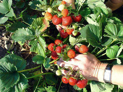 Sieben Vorarlberger Obstbauern kultivieren die roten Früchte. Bio Austria