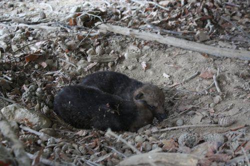 Zwei Wolfswelpen im Wildpark wurden offenbar Opfer von tödlichem Virus. VN