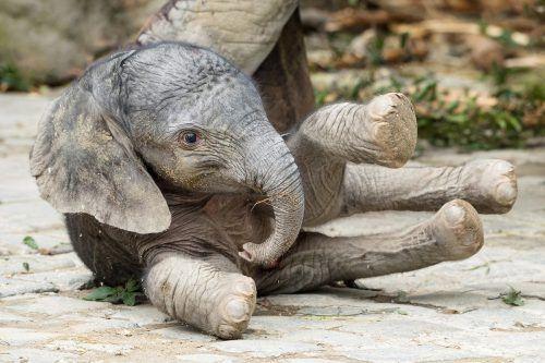 ABD0026_20190714 - WIEN - ÖSTERREICH: ZU APA0104 VOM 14.7.2019 - ++ HANDOUT ++ In der Nacht auf Samstag, 13. Juli 2019, hat die Elefantenkuh Numbi im Tiergarten Schönbrunn ein ca. 90 cm großes und etwa 90 kg schweres Jungtier zur Welt gebracht. - FOTO: APA/TIERGARTEN SCHÖNBRUNN/DANIEL ZUPANC - ++ WIR WEISEN AUSDRÜCKLICH DARAUF HIN, DASS EINE VERWENDUNG DES BILDES AUS MEDIEN- UND/ODER URHEBERRECHTLICHEN GRÜNDEN AUSSCHLIESSLICH IM ZUSAMMENHANG MIT DEM ANGEFÜHRTEN ZWECK UND REDAKTIONELL ERFOLGEN DARF - VOLLSTÄNDIGE COPYRIGHTNENNUNG VERPFLICHTEND ++
