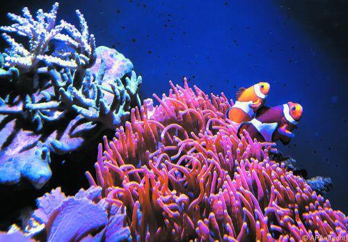 Das Experiment mit Clownfischen zeigt die Bedeutung der Dunkelheit. APA