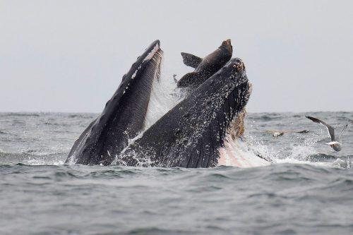 Der Seelöwe fiel vor Kalifornien in das zum Fressen weit geöffnete Maul des Wales. APA