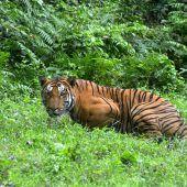 Zahl der Indischen Tiger auf knapp 3000 gestiegen