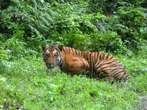 Der Tiger ist das Nationaltier von Indien und gilt als vom Aussterben bedroht. afp