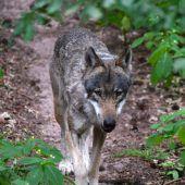 World-Wildlife-Fund: Österreicher sagen Ja zum Wolf