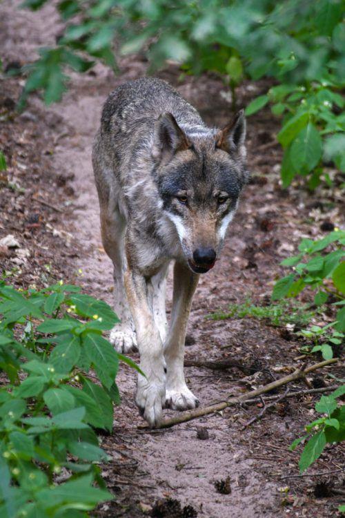 Der WWF legt sich für den Wolf ins Zeug. AFP