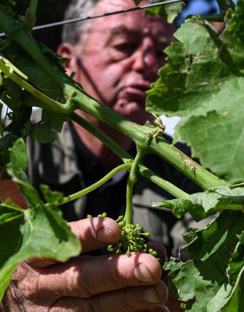 Die Hitzewelle in Frankreich schmälert die heurige Weinproduktion. AFP