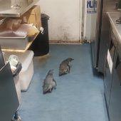 Pinguin-Pärchen hält Polizei auf Trab